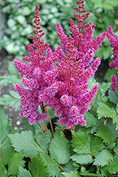Visions Astilbe (Astilbe chinensis 'Visions') at Canadale Nurseries