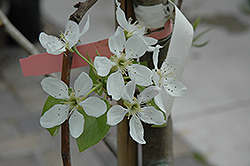 Bosc Pear (Pyrus communis 'Beurre Bosc') at Canadale Nurseries