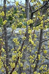 Variegated Cornelian Cherry Dogwood (Cornus mas 'Variegata') at Canadale Nurseries
