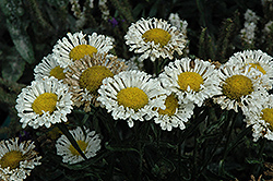 Real Neat Shasta Daisy (Leucanthemum x superbum 'Real Neat') at Canadale Nurseries