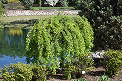 Weeping Peashrub (Caragana arborescens 'Pendula') at Canadale Nurseries