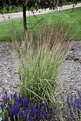 El Dorado Feather Reed Grass (Calamagrostis x acutiflora 'El Dorado') at Canadale Nurseries
