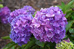 Let's Dance® Rave® Hydrangea (Hydrangea macrophylla 'SMNHMSIGMA') at Canadale Nurseries