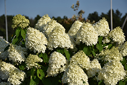 Limelight Hydrangea (Hydrangea paniculata 'Limelight') at Canadale Nurseries